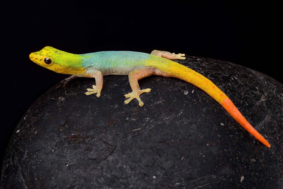 Карликовый геккон Lygodactylus conraui