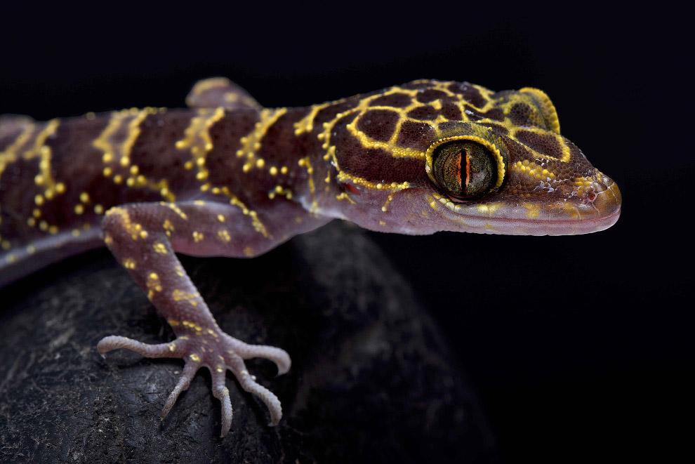 Кривопалый геккон Cyrtodactylus doisuthep