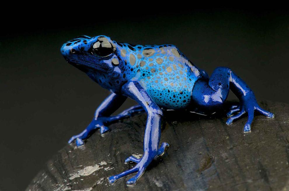 Голубой древолаз (Dendrobates tinctorius azureus)