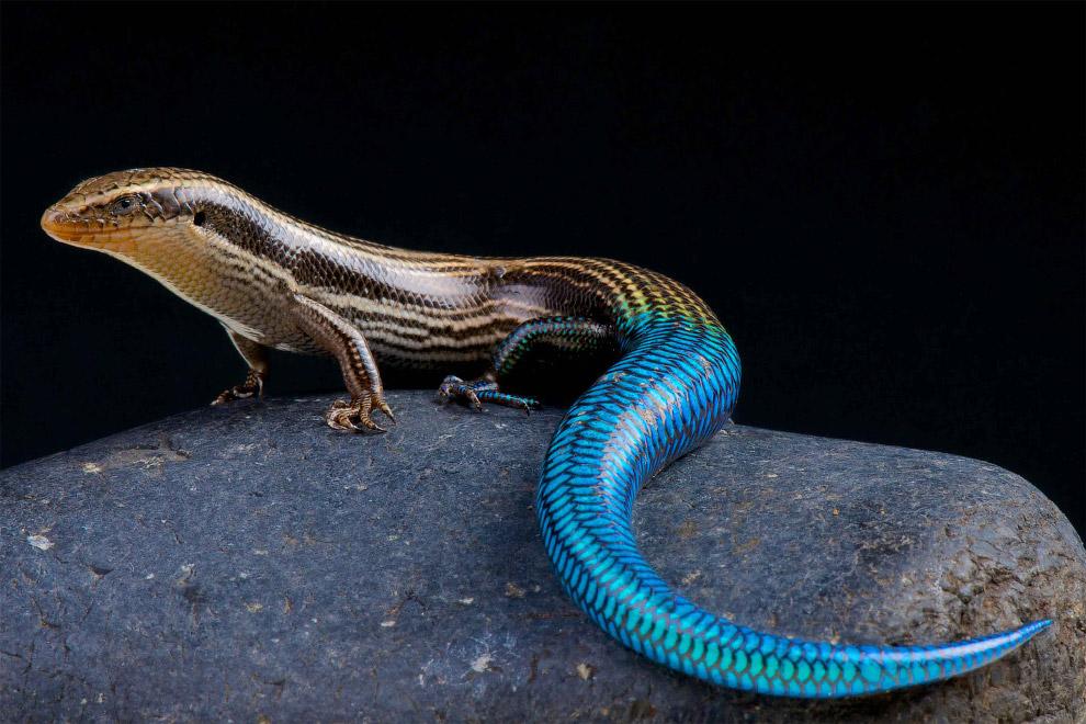 Синехвостый шестиполосый хальцид (Chalcides sexlineatus)