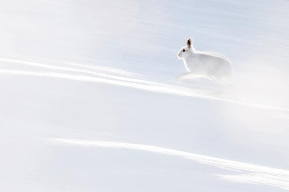 Арктический заяц, Шотландия