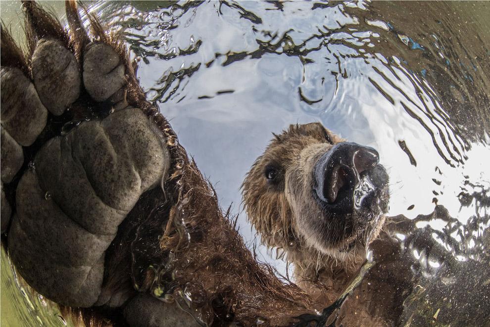 Что видит лосось, когда на него охотится медведь