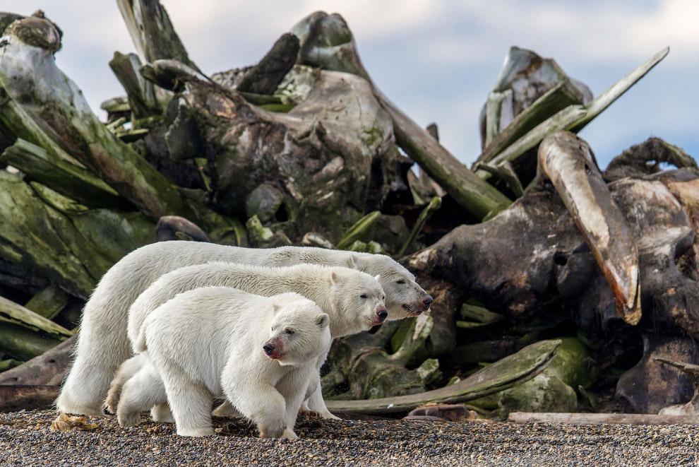 3 медведя на Аляске после обеда