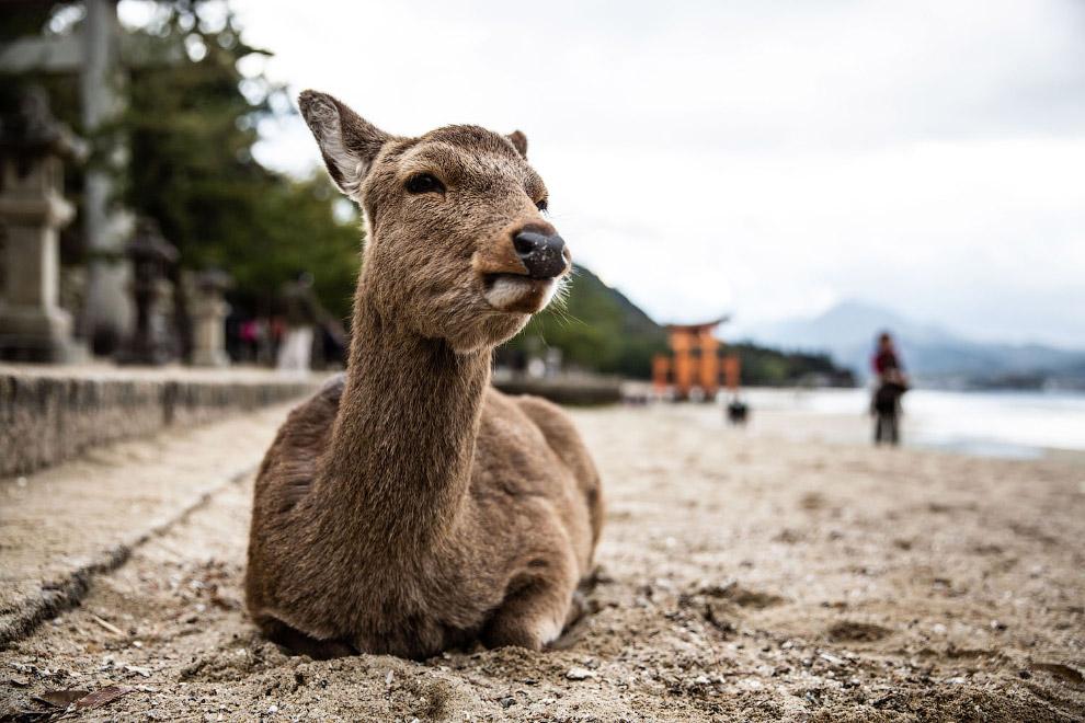 Олени на японском острове Миядзима бродят абсолютно свободно и просят у туристов еду.