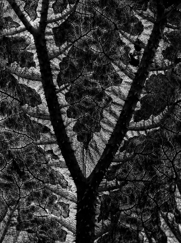 Гуннера — травянистый многолетник из английского сада