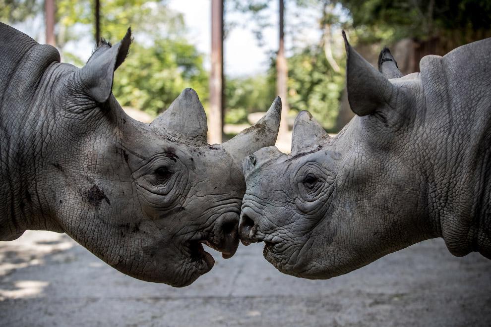 Черные носороги в сафари-парке в Чехии