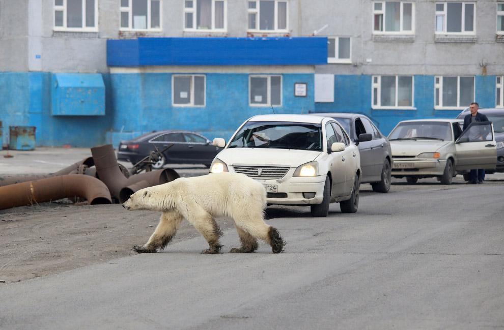 Белый медведь на улицах Норильска
