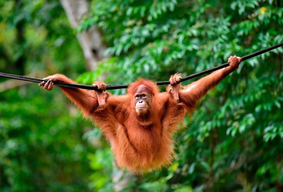 Суматранский орангутан в лесном заповеднике в Янто