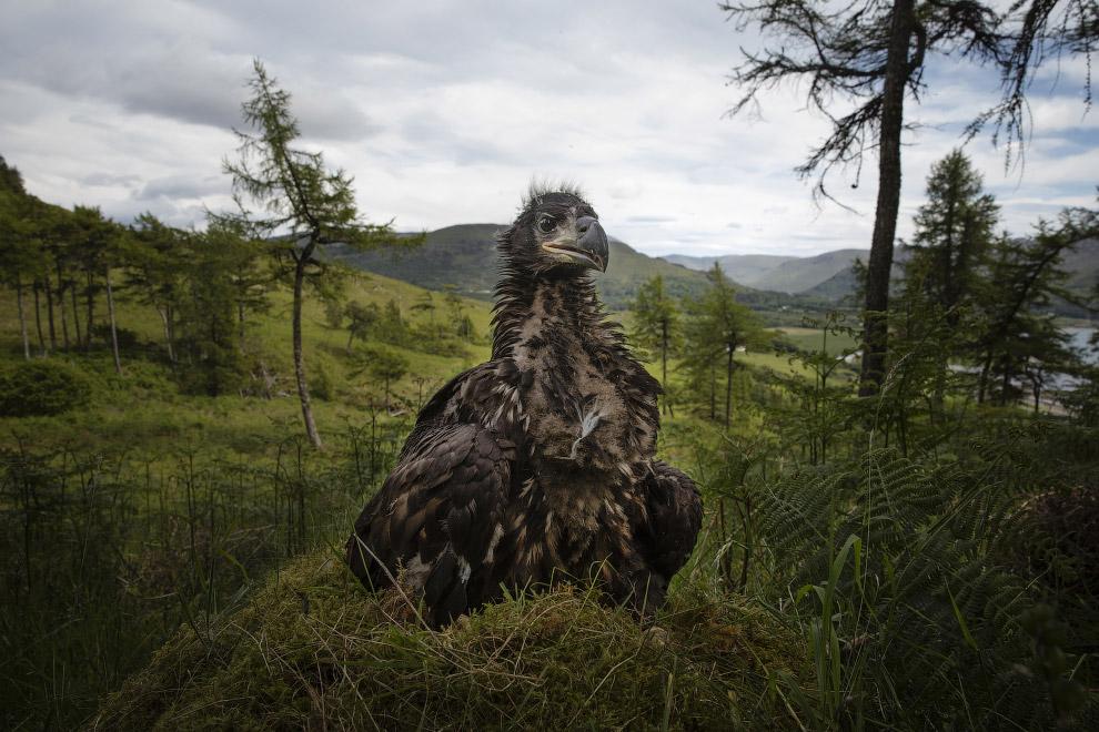 Юный орлан-белохвост в гнезде в Шотландии