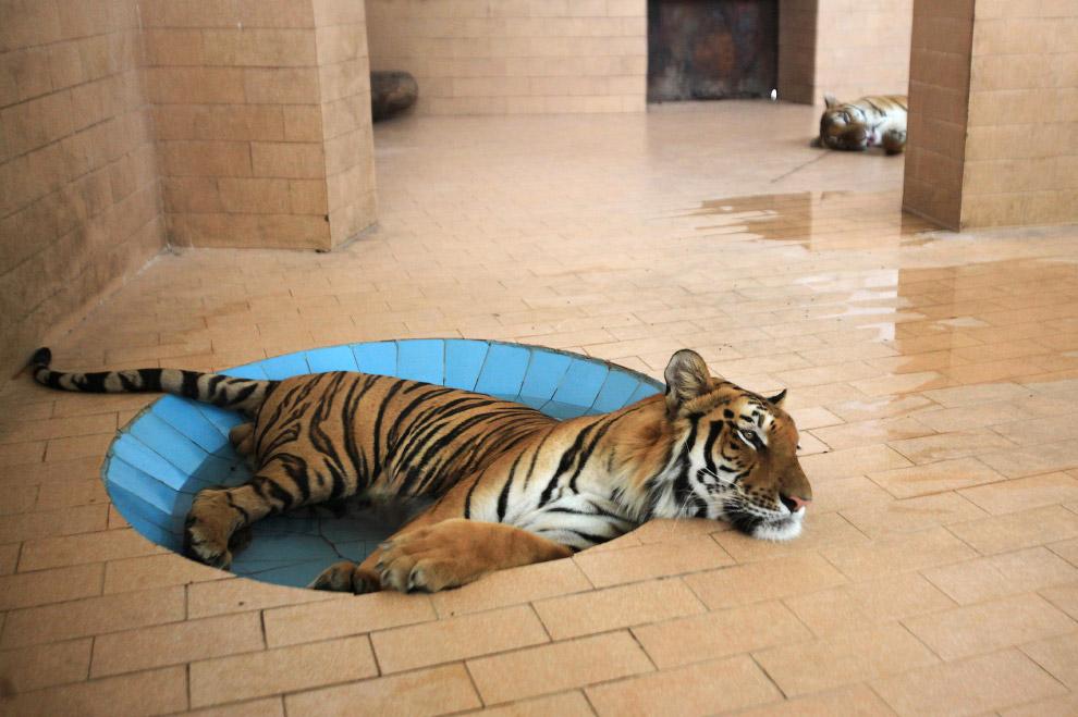 Тигр в зоопарке в Лахоре, Пакистан