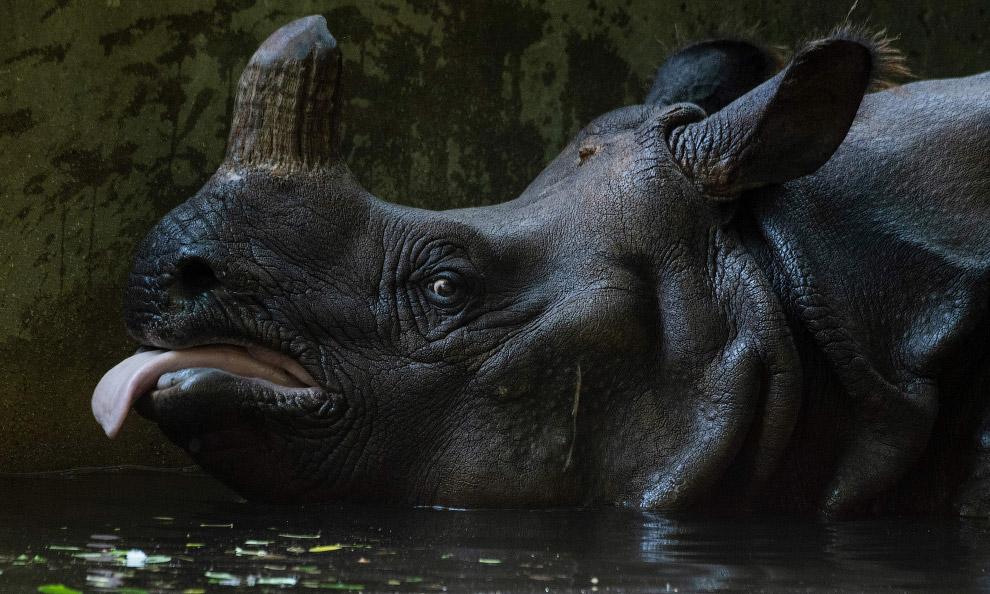 Язык на плечо у носорога в берлинском зоопарке