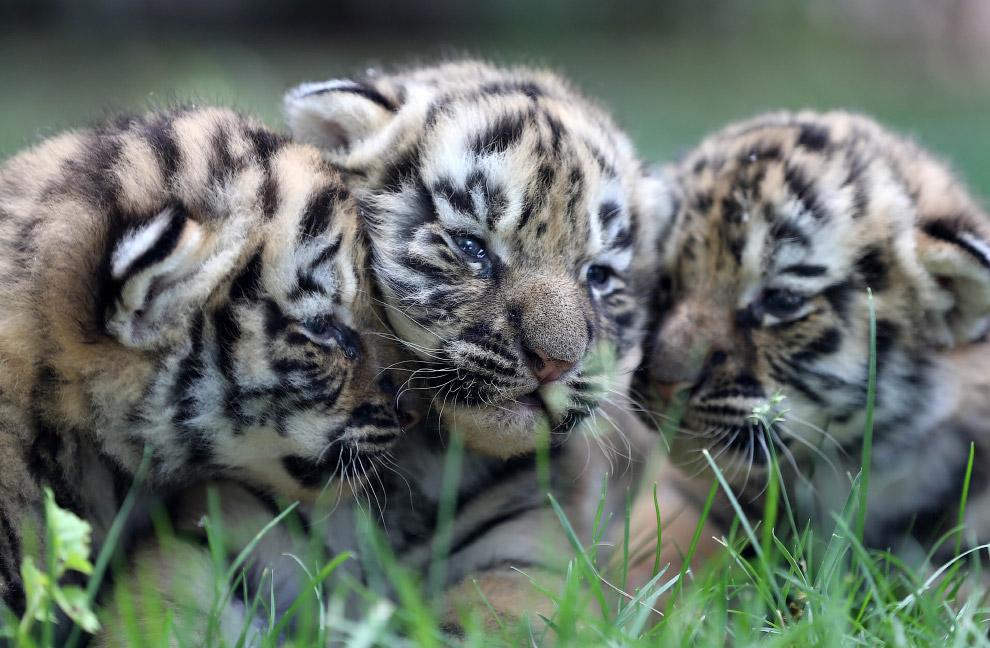 Тигрята в зоопарке в провинции Шаньдун, Китай