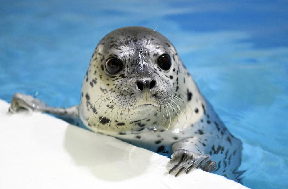 3-месячный тюлень в Харбине