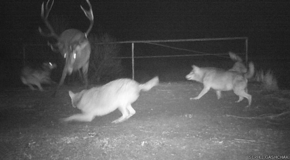 Групповая охота на оленя, которая длилась целых три дня