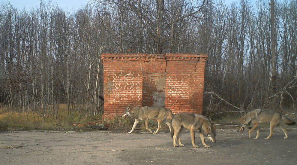 Волки — одни из хозяев Зоны.