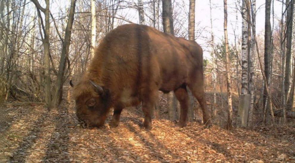 Зубры пришли в Чернобыльскую зону из Беларуси.