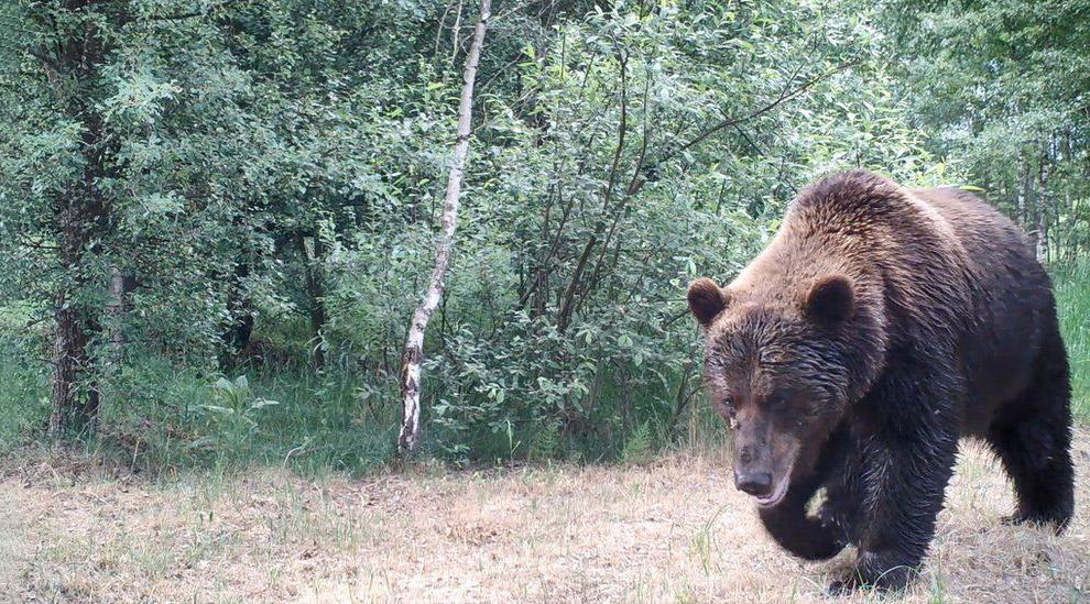 Медведи часто попадают в объективы фотоловушек.