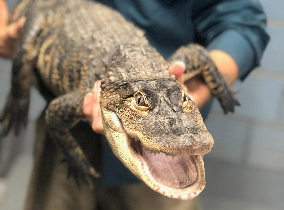 Веселый крокодильчик из Чикаго