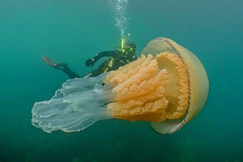 медузу