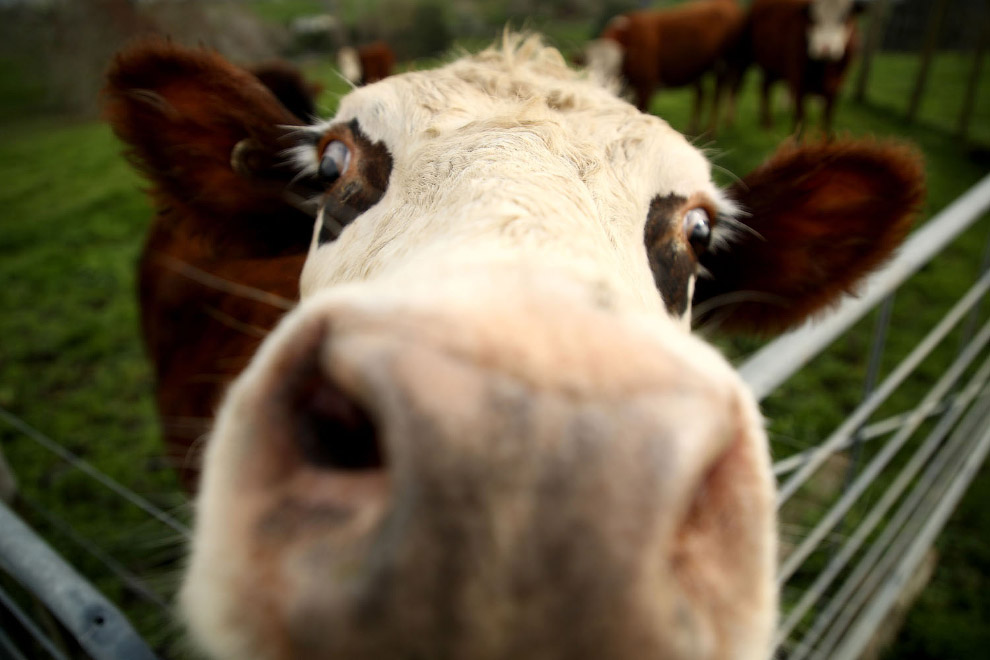 Новозеландская корова