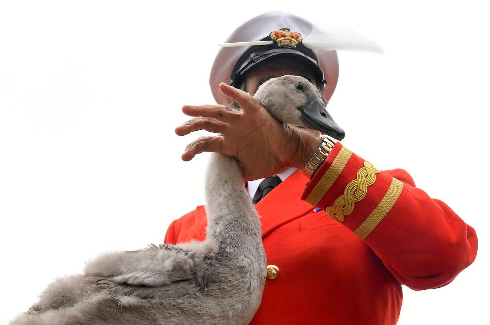 Ежегодная перепись лебедей королевы
