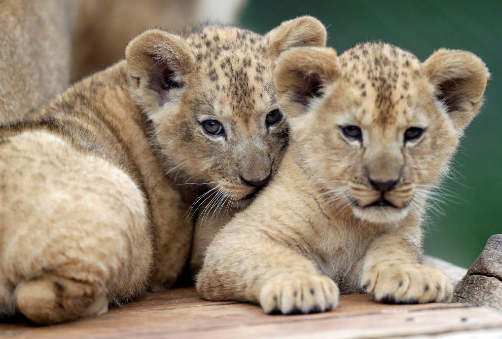 Будущие цари зверей, пока еще застенчивые