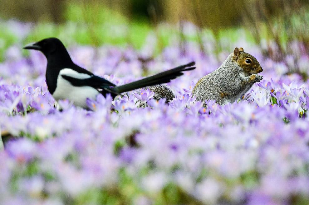 Белка и сорока кормятся среди пурпурных крокусов в Бате