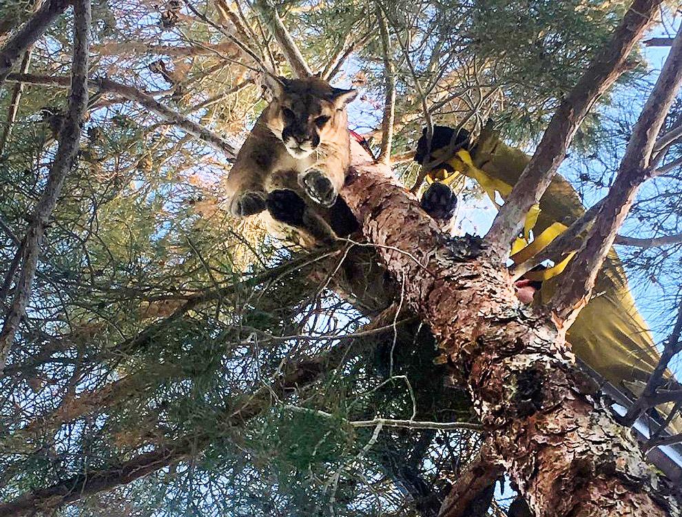 Пума прыгает с дерева вниз