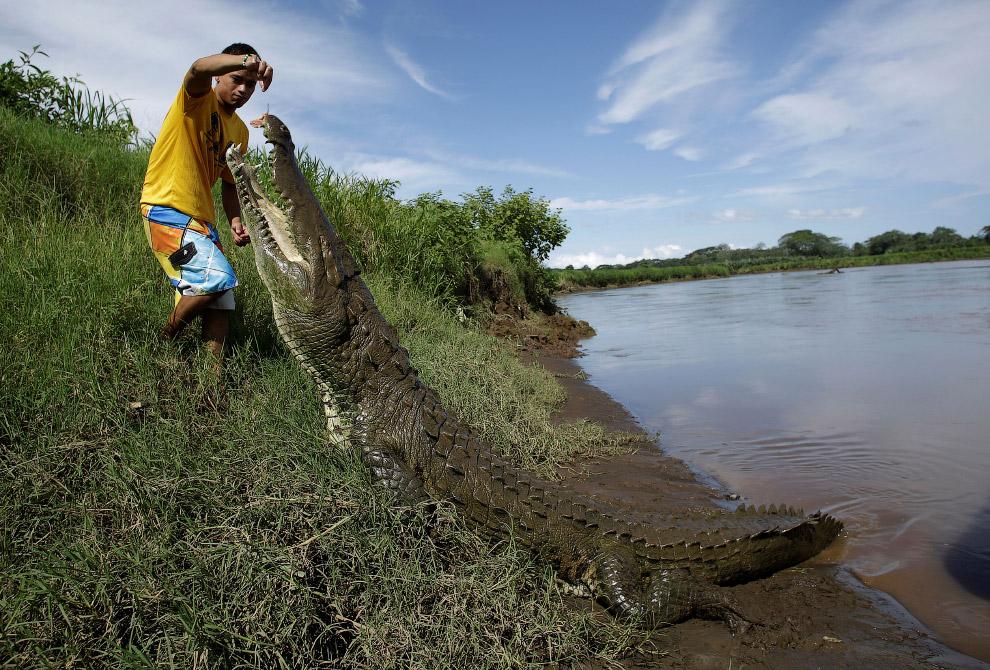 необычный друг — крокодил