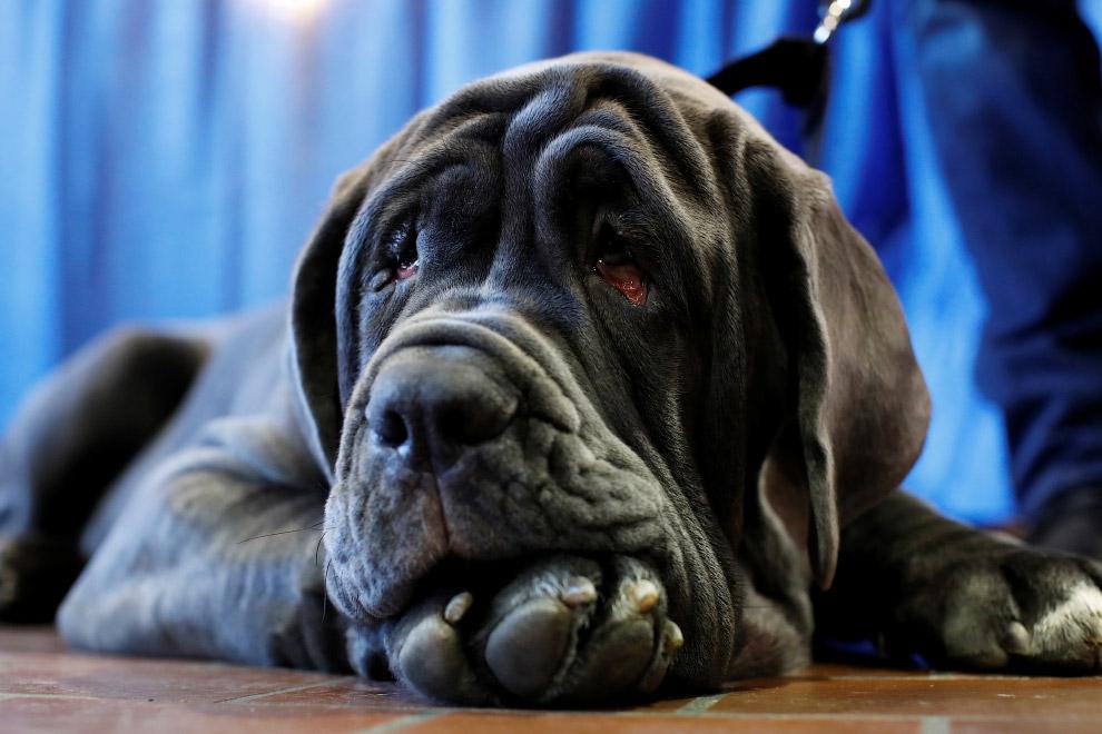 Грустный неаполитанский мастиф на выставке собак