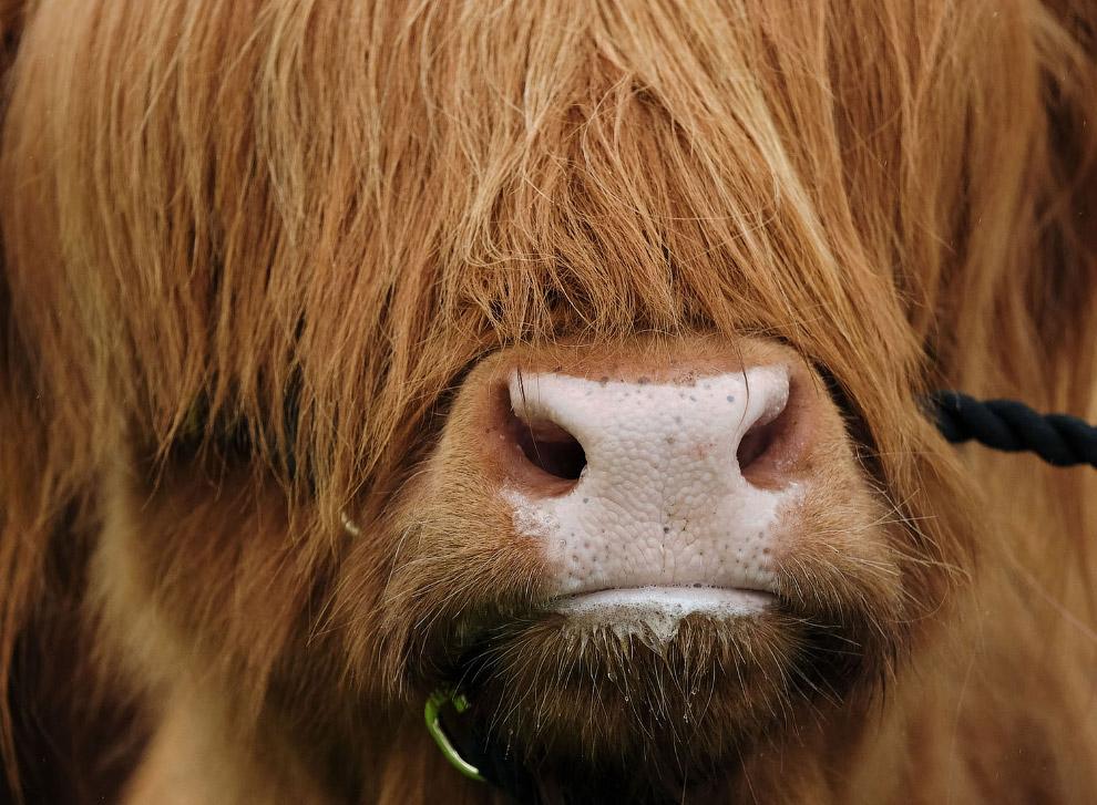Высокогорная корова в Йоркшире