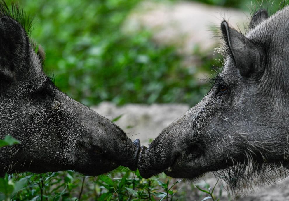 И свинячье общение около Морицбурга, Германия