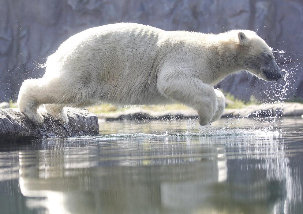 Прыжок белого медведя в бассейн в зоопарке в Гельзенкирхене, Германия