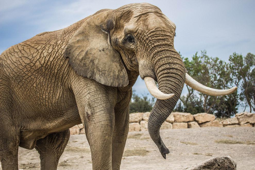 Слоновья шкура