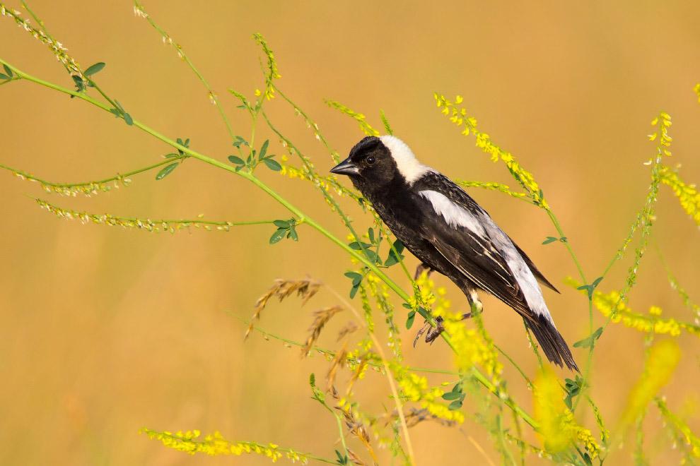 рисовая птица