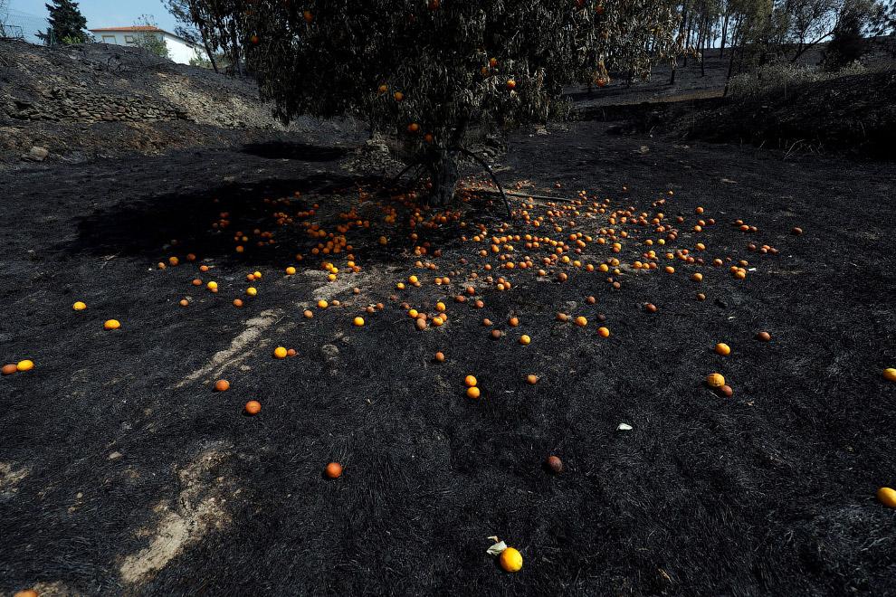 Апельсиновое дерево облетело