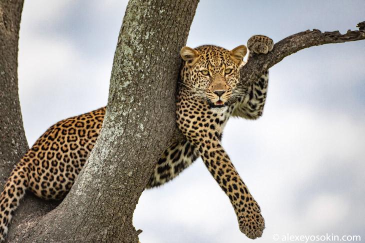 Про леопардов