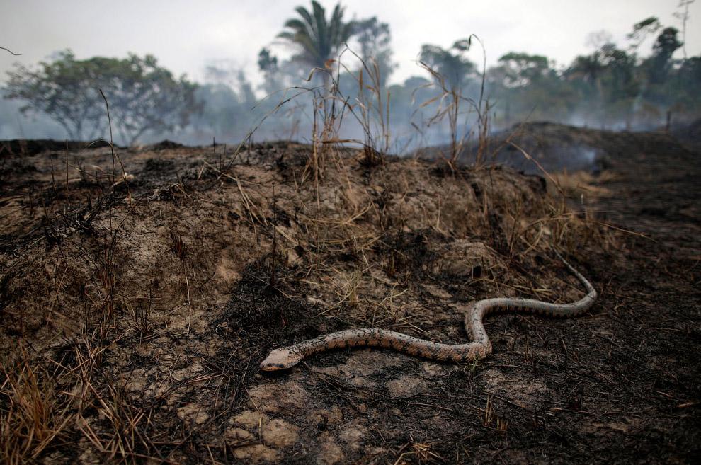 Убегающая от пожаров змея, Бразилия