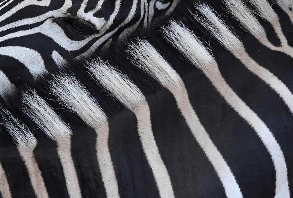 Черно-белая шкура зебры