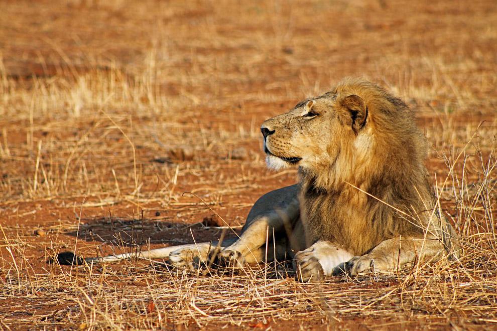 дикие львы