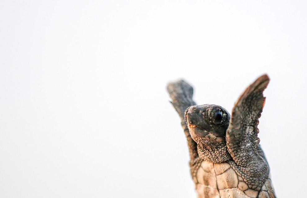 Только что вылупившиеся черепашки пробираются к морю в Анталии