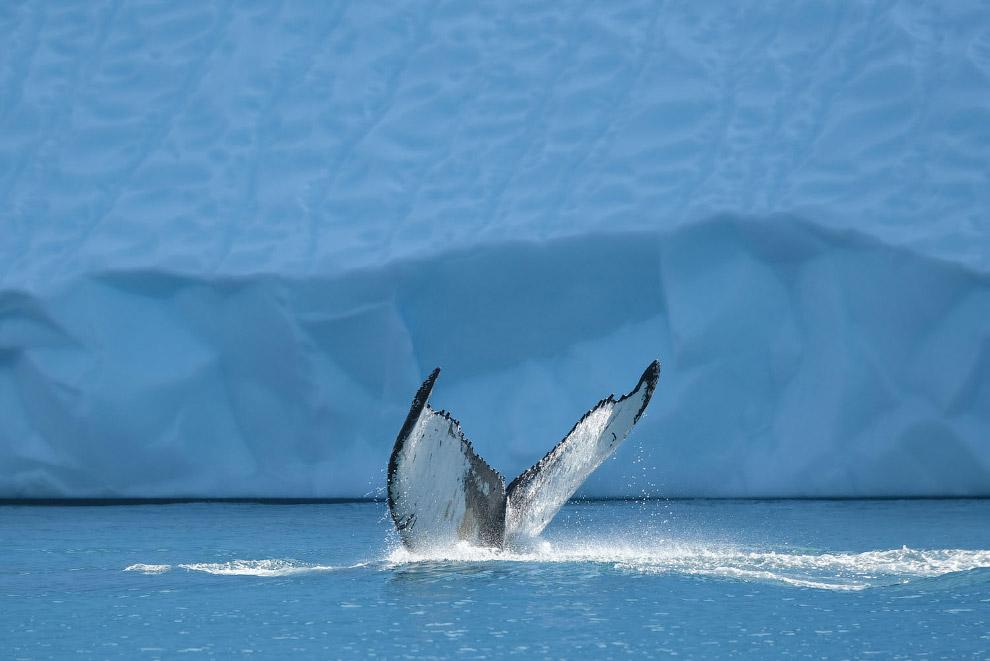 Горбатый кит в Илулиссатском фьорде, Гренландия