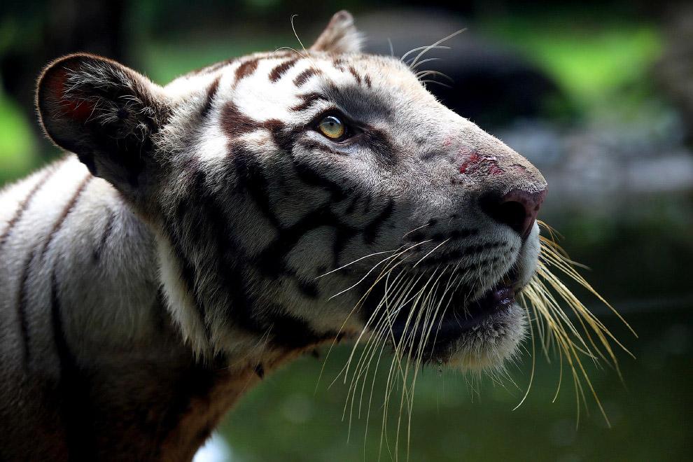 Индийский королевский бенгальский тигр