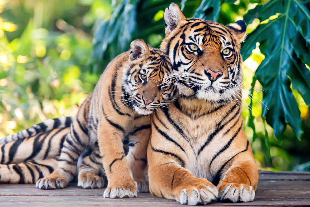 Всего 380 суматранских тигров осталось в дикой природе