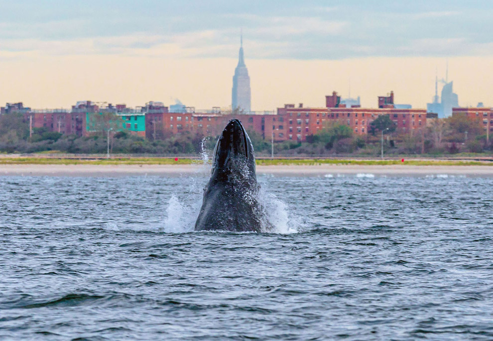 Прыжки горбатого кита