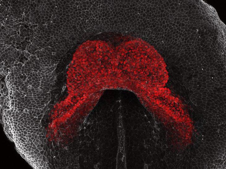 Сердце развивающегося эмбриона мыши