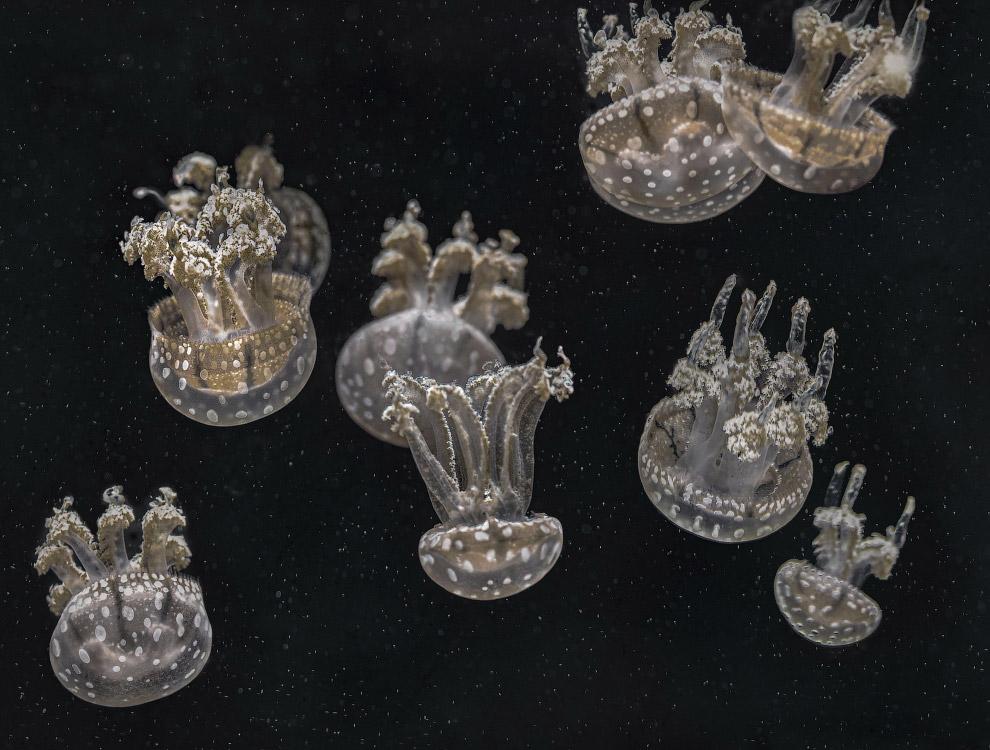 Тело медузы на 98% состоит из воды