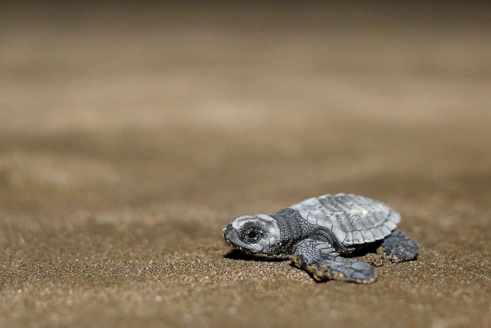 ECUADOR-ANIMALS/SEA TURTLES