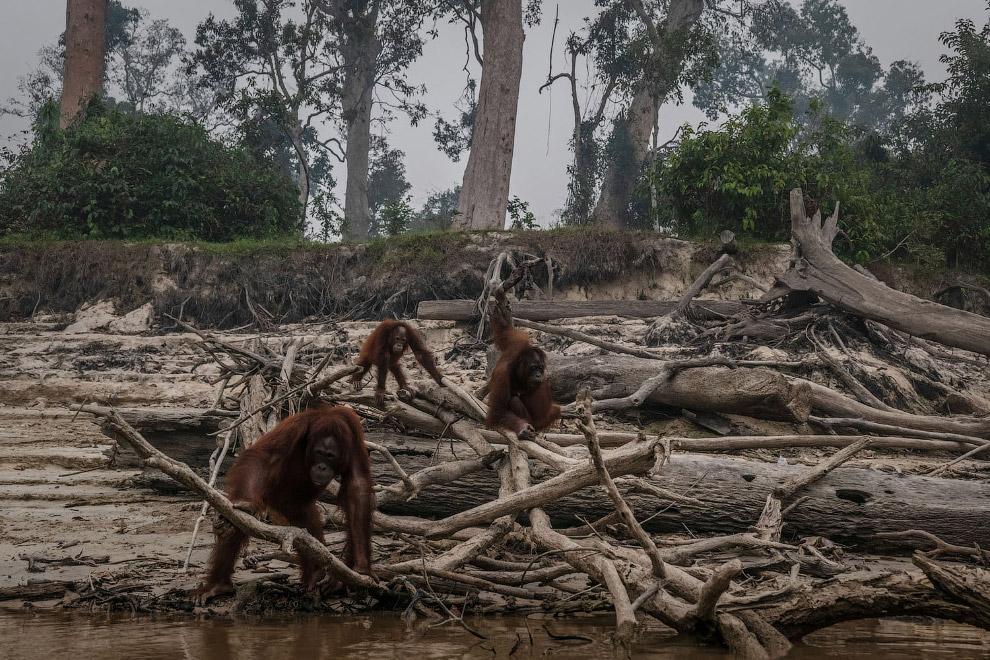 Из-за уничтожения лесов орангутангам Борнео живется всё хуже и хуже