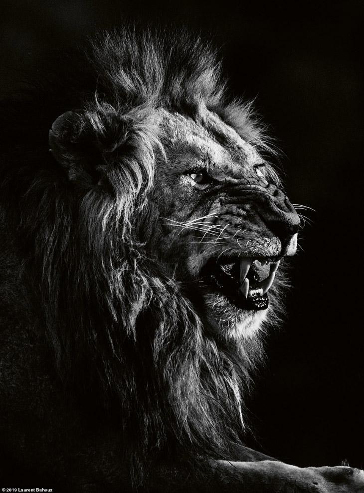 Черно-белые львы